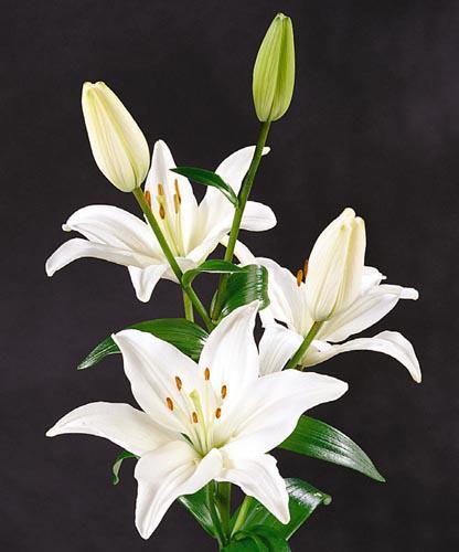 Красивые белые лилии))