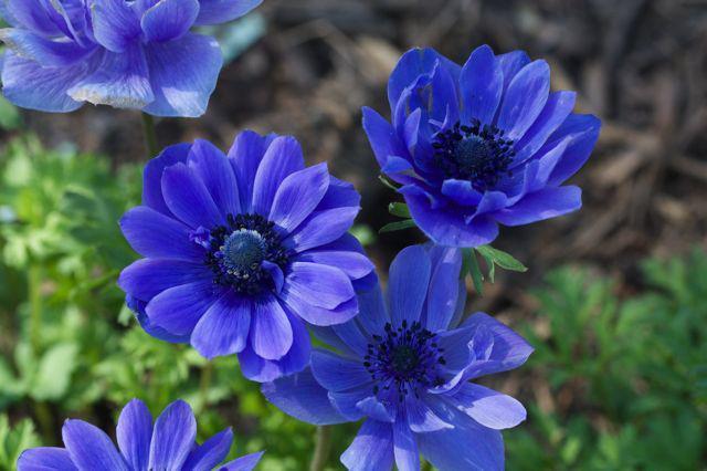 Синие цветы,