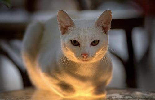 Схема вышивки «Кошка»