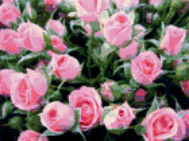 Розовые розы, предпросмотр