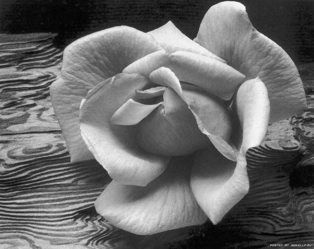 Черно-белая роза, оригинал