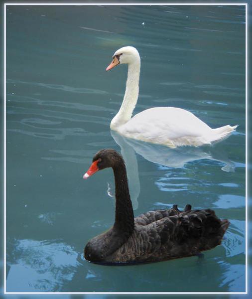 Черный и белый лебеди,