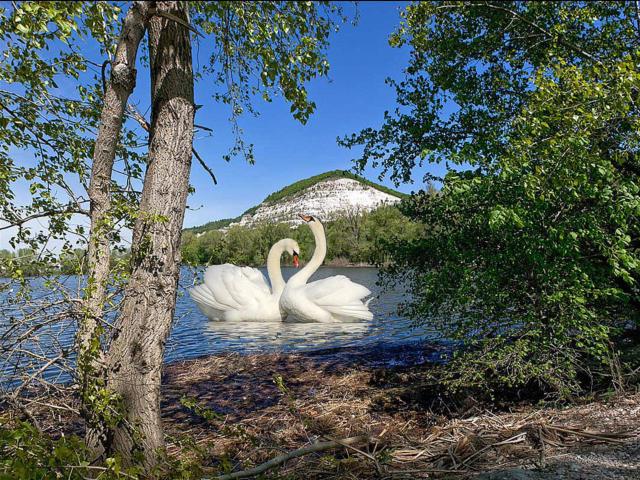 Лебеди и пейзаж, оригинал