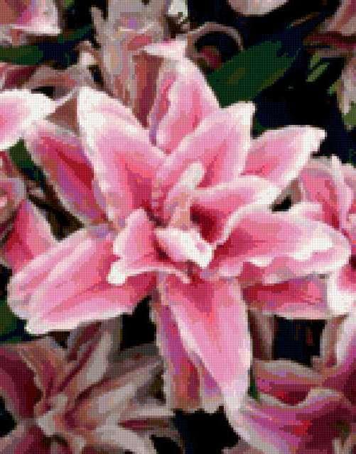 Махровая лилия, предпросмотр