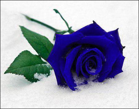 Синяя роза на снегу, оригинал