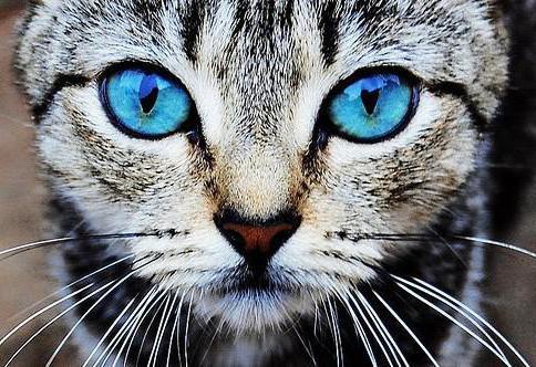 Кошка с голубыми глазами,