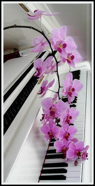 Розовая орхидея на белом рояле
