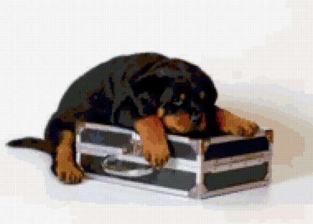 На чемоданах))), ротвейлер