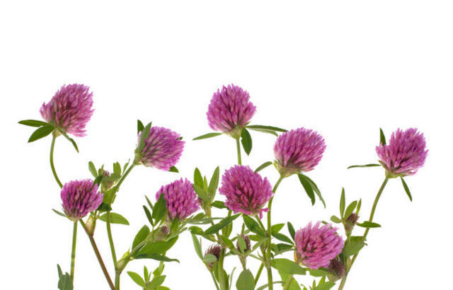Клевер, цветы.клевер