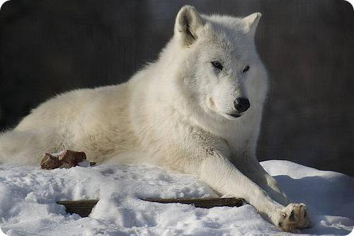 Белый волк, оригинал