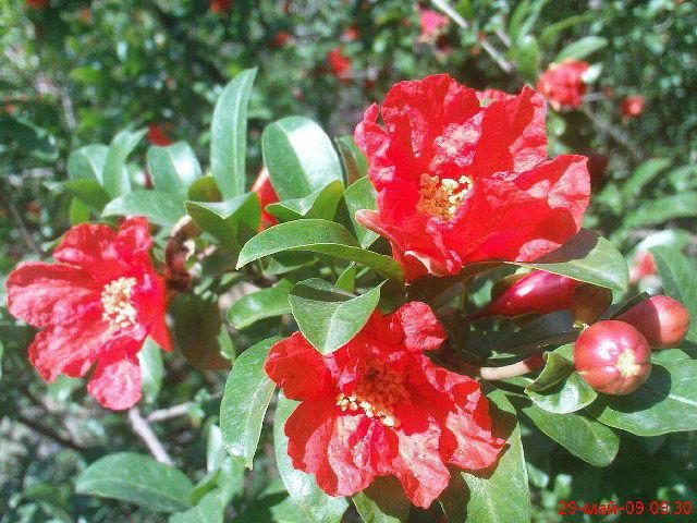 Цветы граната, оригинал