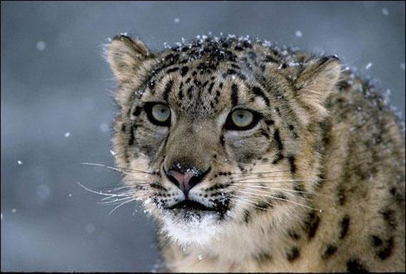 Снежный леопард, оригинал