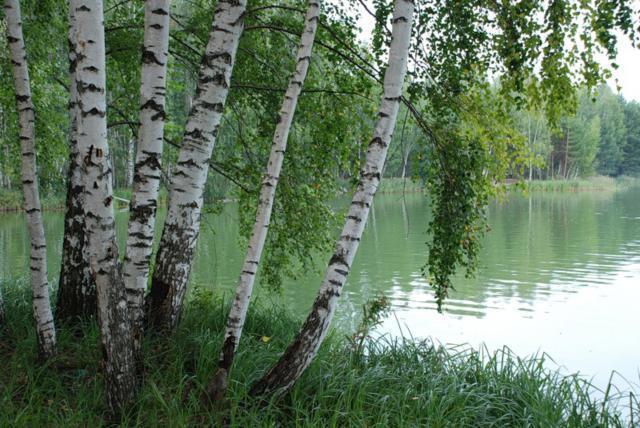 Березы озеро, оригинал
