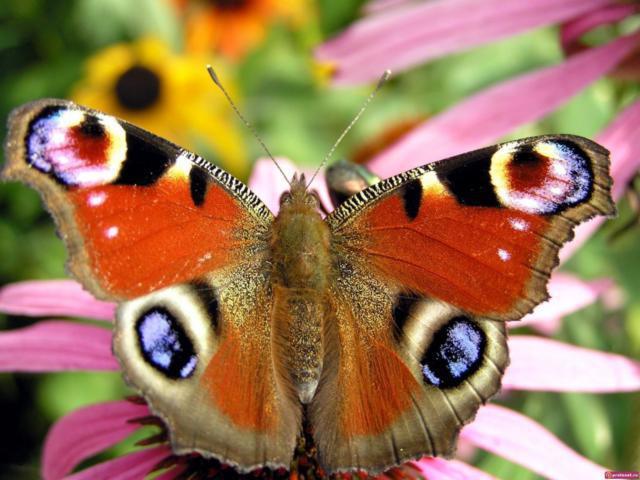 Очень четкая бабочка, оригинал