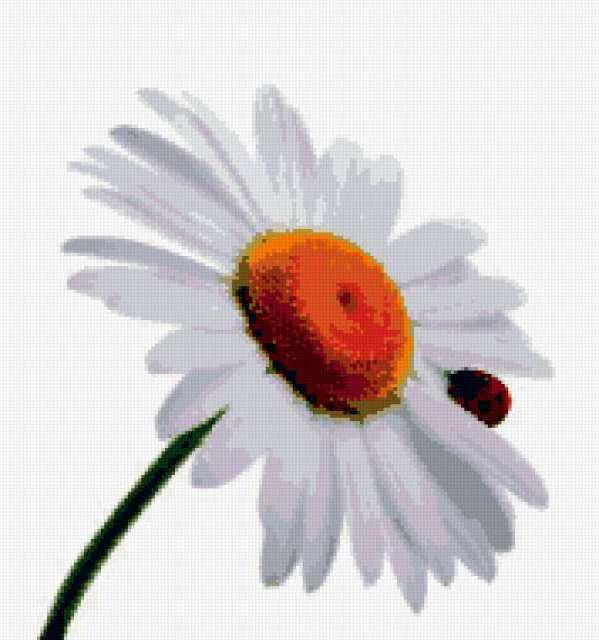 Ромашка, flowers, божья