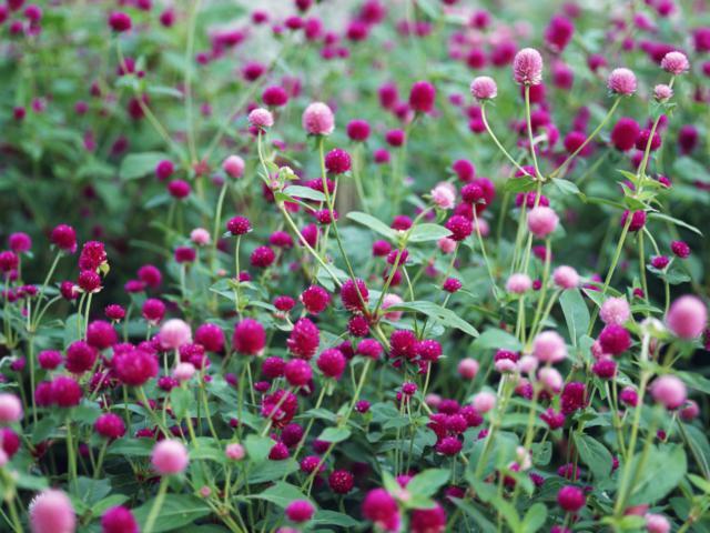 Кашка цветы полевые