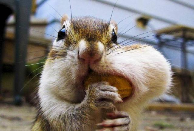 Бурундук с орехом, оригинал