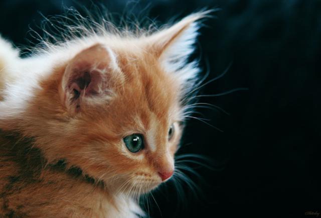 Рыжая прелесть, котенок кошка