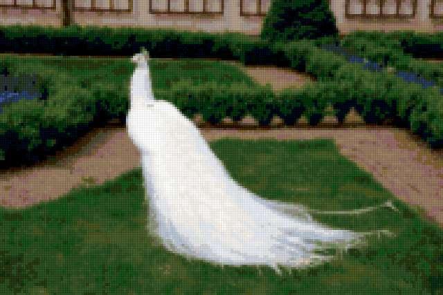 Белый павлин, предпросмотр