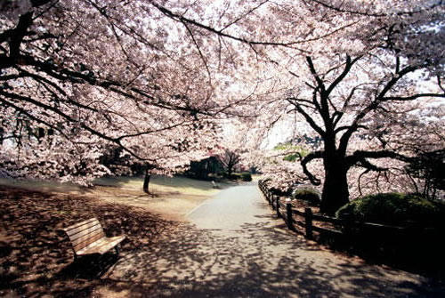 Сады сакуры, сакура, цветы,