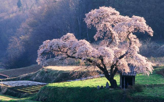 Сакура в цвету, оригинал