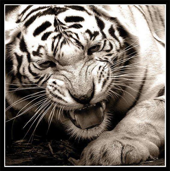 Злой тигр, оригинал