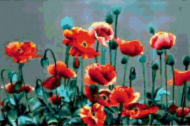 Поле маков, маки, поле, цветы,