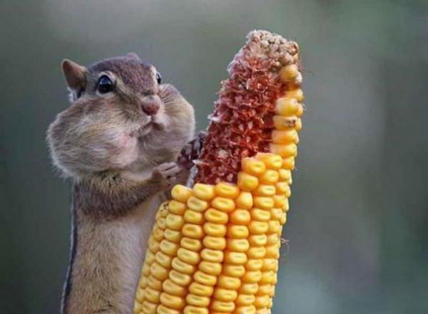 животные, хомяк, кукуруза