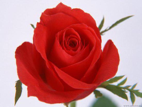 Королева цветов, цветы роза