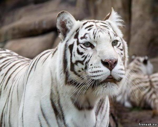 Белый тигр, белый тигр
