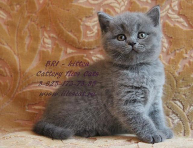 Голубой британский котенок ,