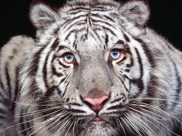 Бенгальский тигр схема вышивки