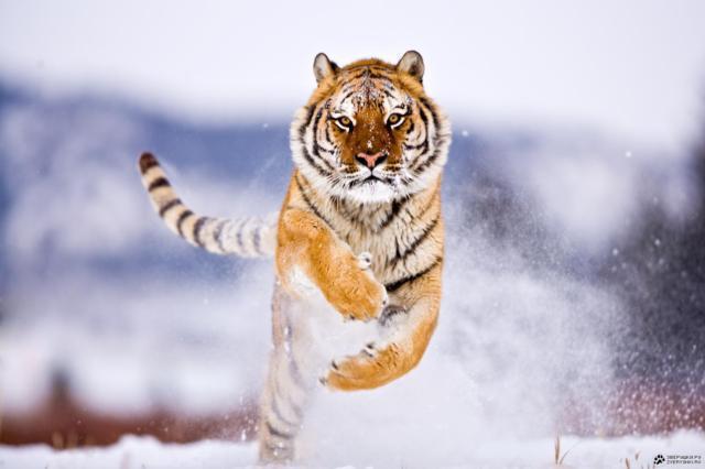 Тигр в снегу, оригинал