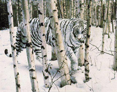 Сибирский тигр, оригинал