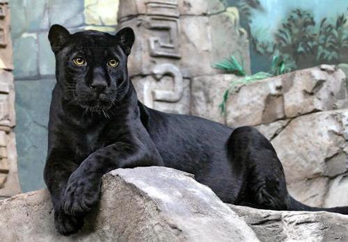 Пантера, пантера, черная