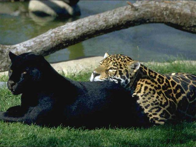 эту схему: пантера, черная