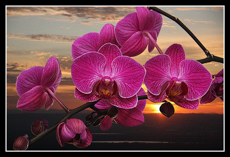 орхидея на закате, оригинал