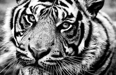тигр моно, черно-белый, тигр,